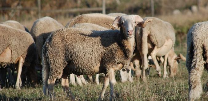 Resultado de imagem para Diminuição do número de ovelhas ameaça produção do queijo tradicional da Serra da Estrela
